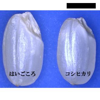 胚芽の大きな胚芽米